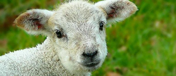 ovce anglické plemeno suffolk