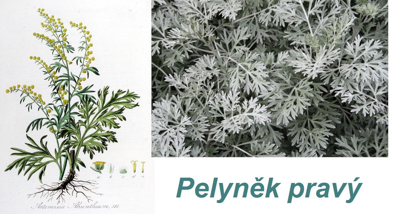 Pelyněk pravý (latinsky artemisia absinthium) - abychom ocenili krásu rostlin, musí existovat i rostliny obyčejné, nepěkné, vedle nichž mohou ty krásné vyniknout.