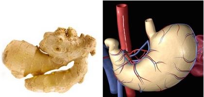 Zázvor vypadá jako žaludek a jeho vlastností je, že pomáhá trávení! Zázvor byl po staletí využíván jako přírodní lék pro potíže se žaludkem. Fytochemikálie gingerol, což je látka, která dává zázvoru jeho typickou vůni a chuť, má také schopnost zabránit nevolnostem a zvracení.