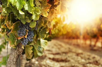Hroznové víno je po pomerančích druhé nejšlechtěnější ovoce na světě. Je velká škoda, že místo aby se většina sklizně snědla v syrovém stavu, používá se především k výrobě alkoholických nápojů.