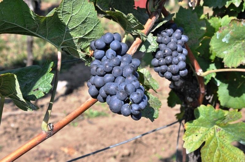 Vinařství Nechory - Vinohrad