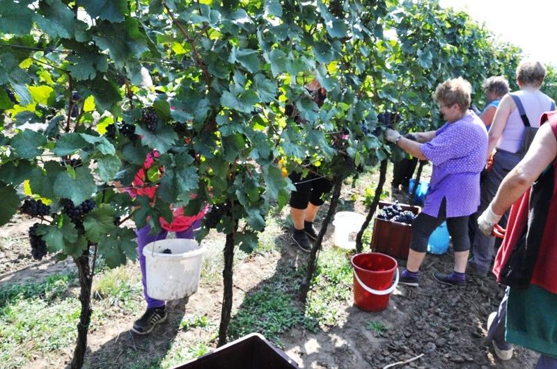 Vinařství Nechory - Vinobraní