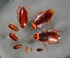 šváby a rusi