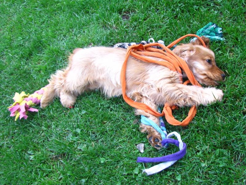 odpočívající pes