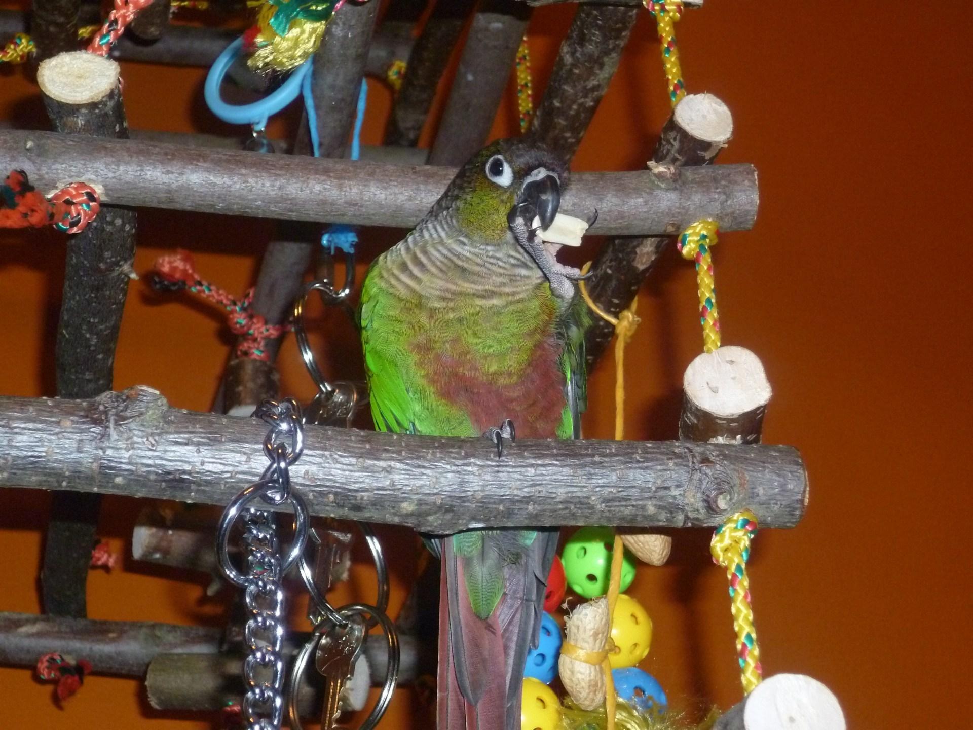 Papoušek pyrura zelenolící