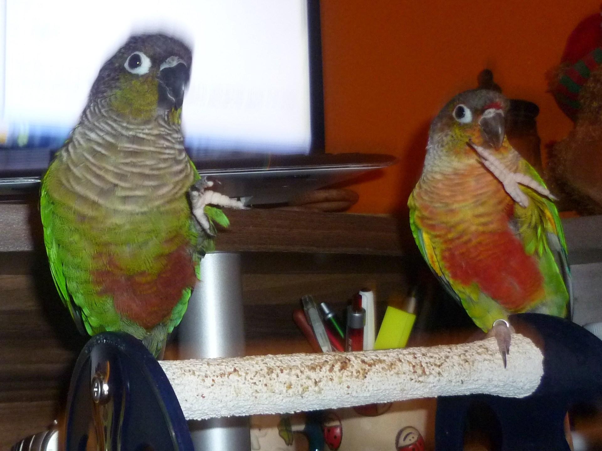 Papoušek a pozdrav