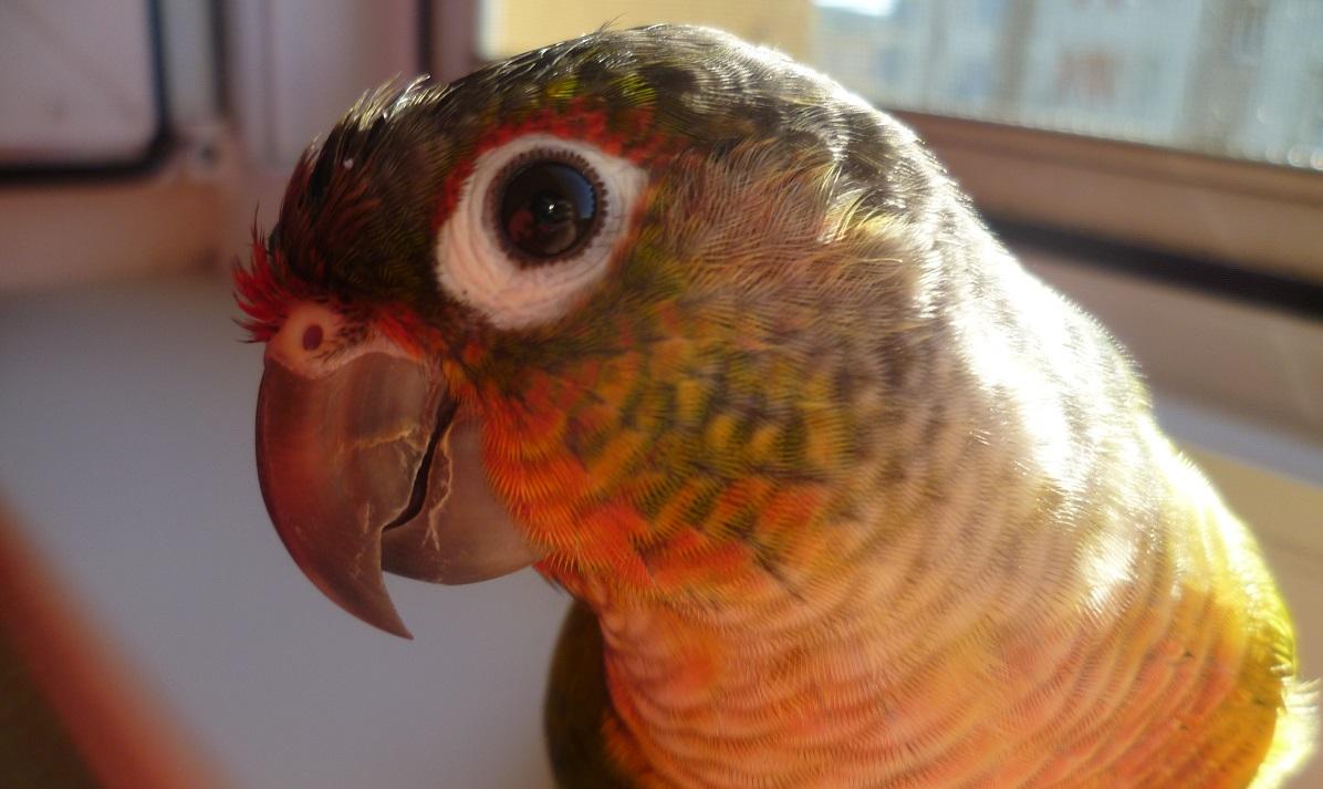 Papoušek pyrura