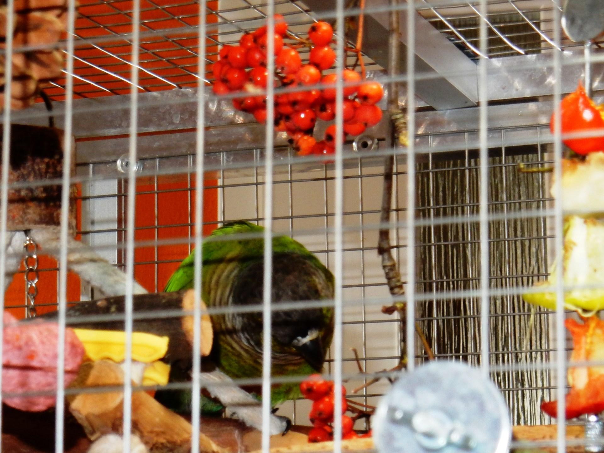 Papoušek a jeřabiny, hloh, šípek, kukuřice