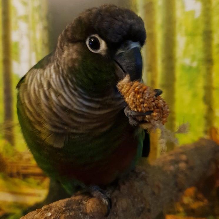 Krmivo pro papoušky