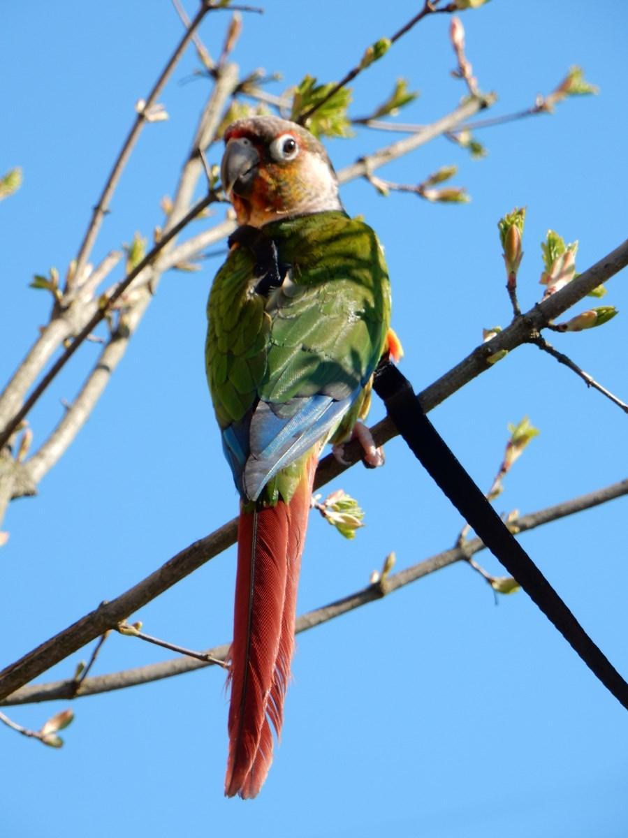 Papoušek pyrura na slunci