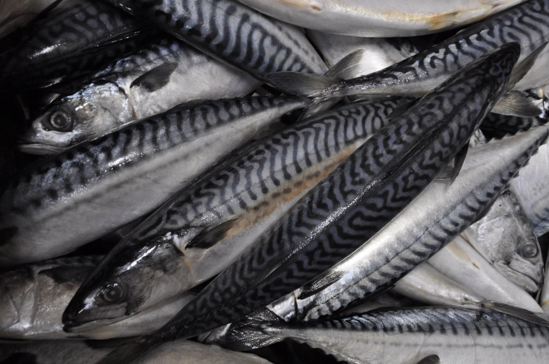 Prodej makrel Prostějov, mražené, nekuchané