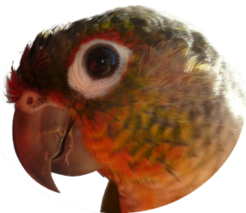 Pyrrhura molinae