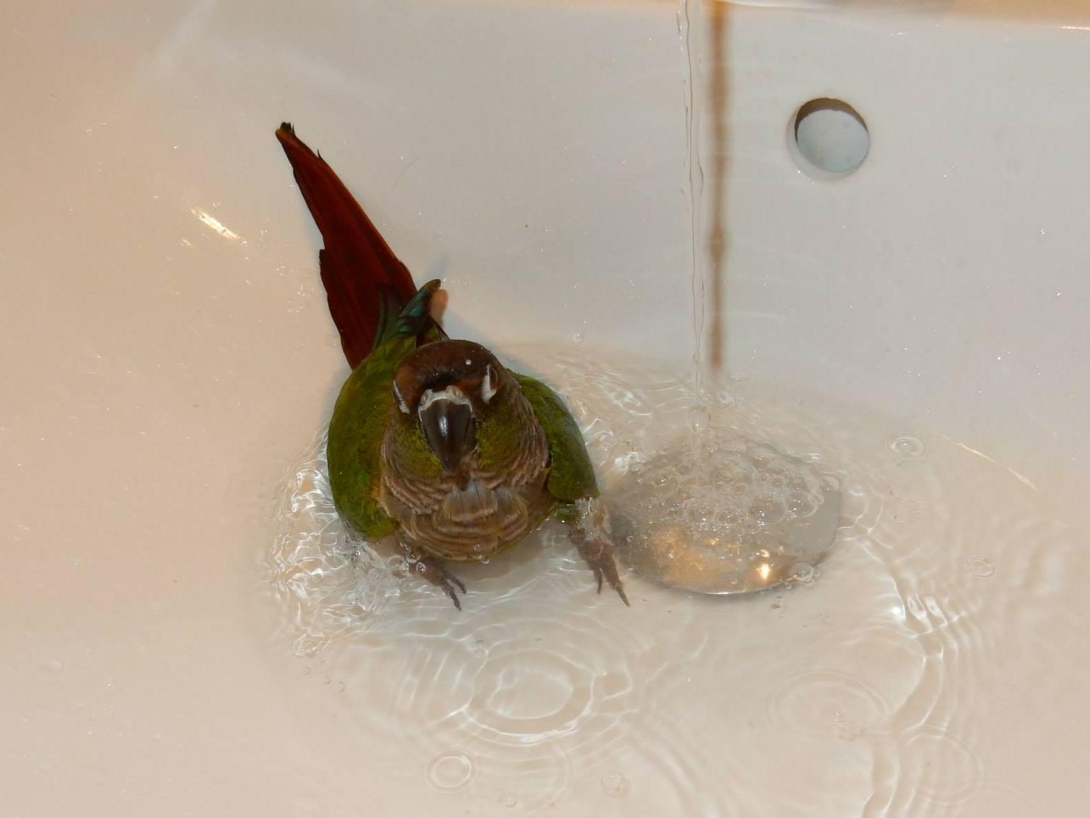 Koupající se papoušek