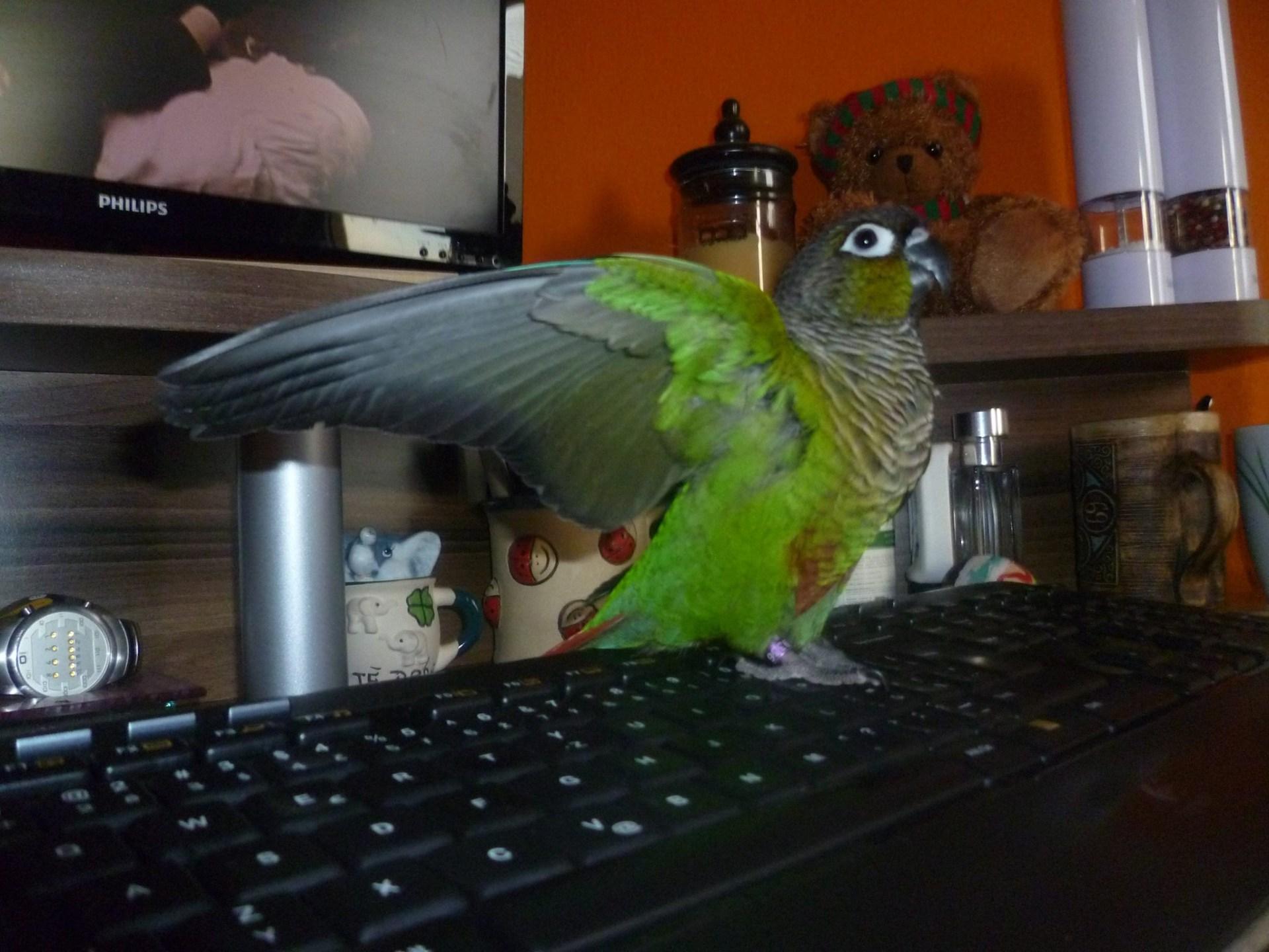 Papoušek zvedá křídla
