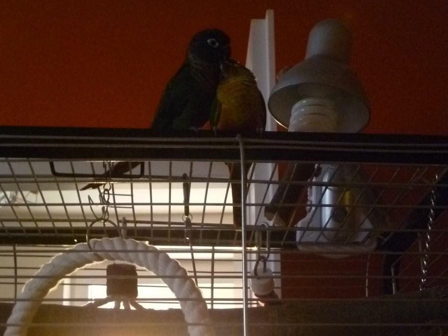 Seznámení dvou papoušků