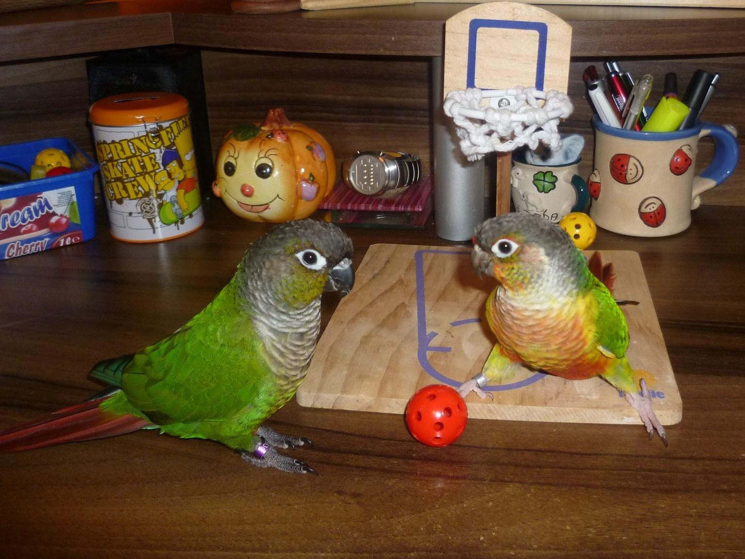 Papoušci hrají basket