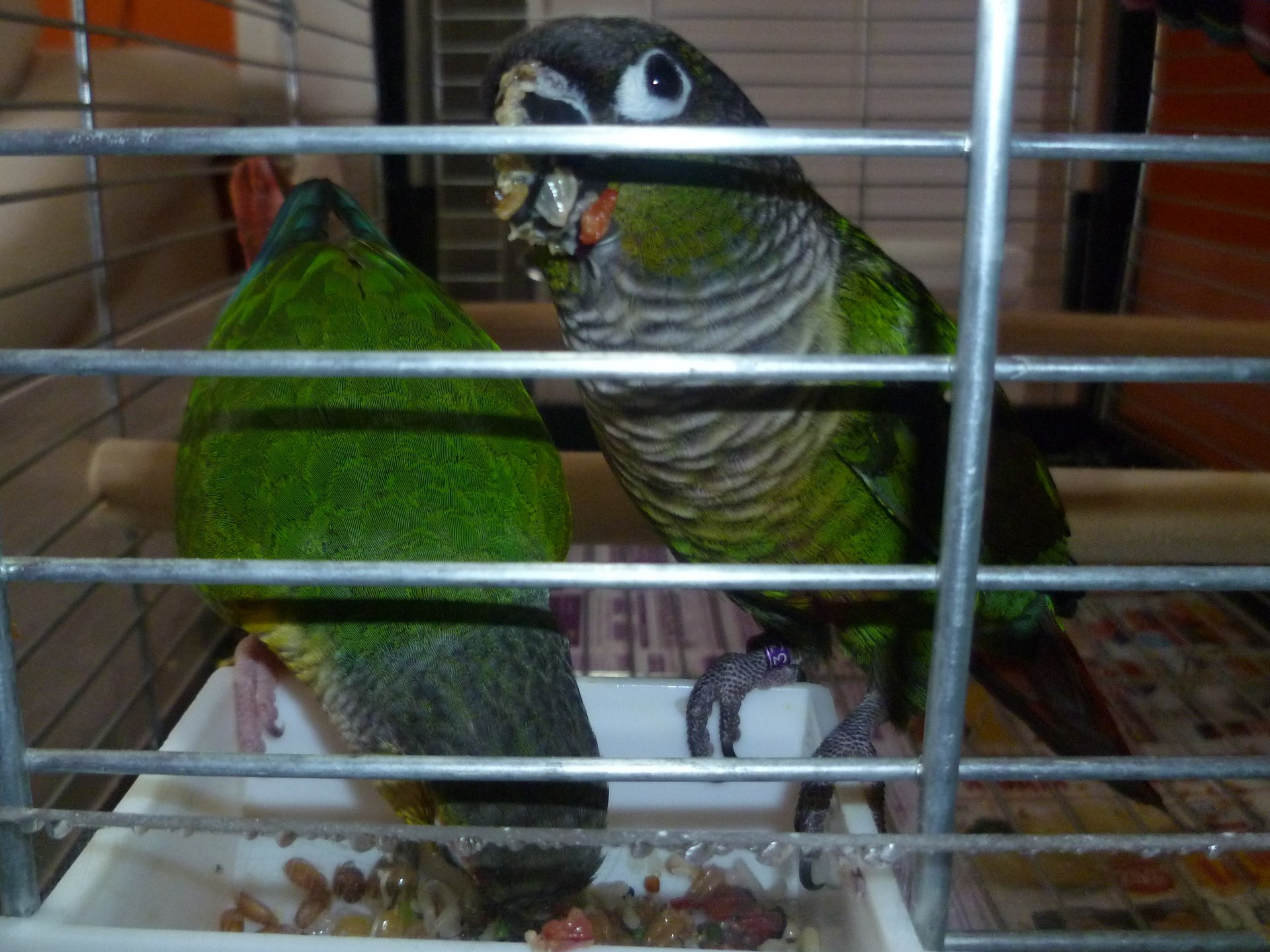 Strava pro papoušky