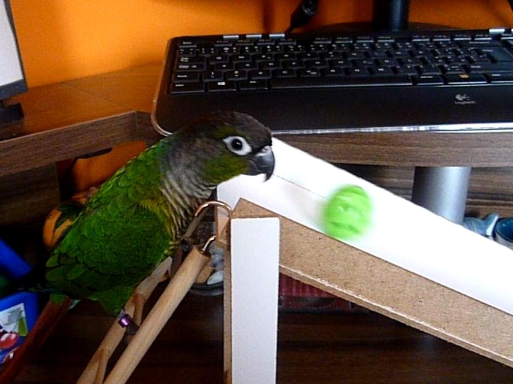 Papoušek na klouzačce