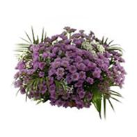 mini chryzantéma fialová