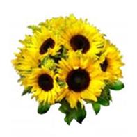 slunečnice žlutá