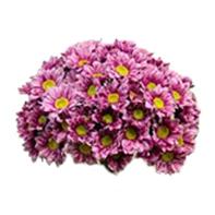 chryzantéma růžová