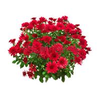 chryzantéma červená