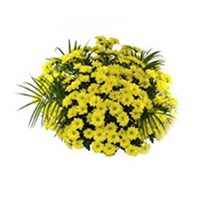 mini chyzantémy žluté