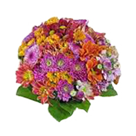 chyzantémy barevné