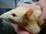 Léčba svrabu u potkana